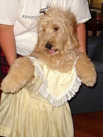 A Goldendoodle is in a yellow dress standing on its hind legs. There is a person holding the dog up.