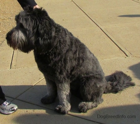 A black and gray Goldendoodle is sitting on concrete being pet by a person