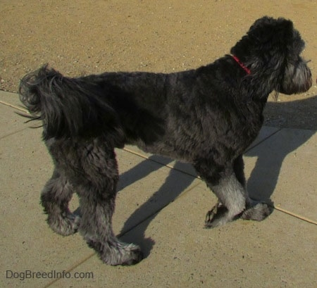 A black with gray Goldendoodle is trotting across concrete