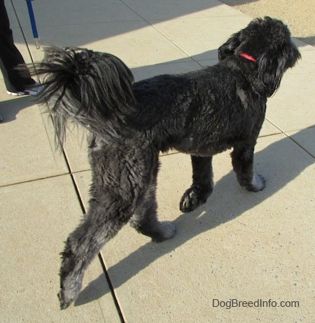 A black and gray Goldendoodle is wearing a red collar trotting across concrete