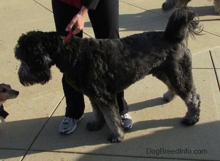 A silver-frosted Goldendoodle is standing in front of a person in black pants. The Goldendoodle is looking down at another smaller dog in front of it