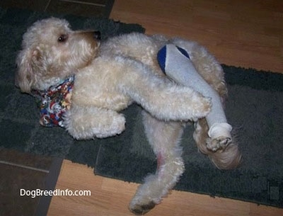 Bailey the Goldendoodle at 2 years old with a broken leg