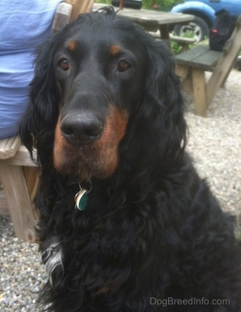 A black and tan Gordon Setter is sitting outside and there is a wooden picnic table and a person wearing blue  on a bench behind it