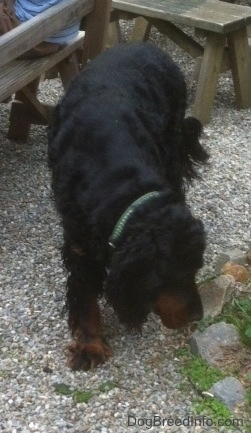 Duff the Gordon Setter at 7 years old.