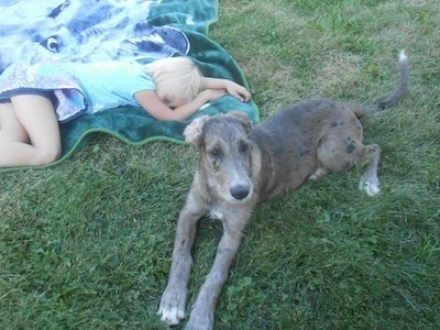 A gray and black merle colored Great Danoodle puppy is laying in grass next to a blonde girl sleeping on a green and blue blanket