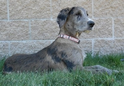 A gray and black merle colored Great Danoodle puppy is laying outside in front of a brick wall