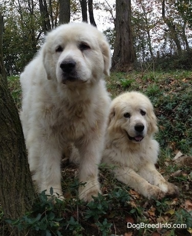 Two Great Pyrenees are next to each other by a tree in the woods. One is sitting the other is laying down.