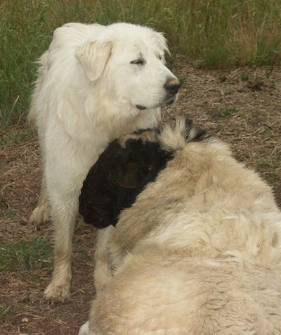 A Great Pyrenees is standing in front of a sheep who has its head up against the chest of the dog.