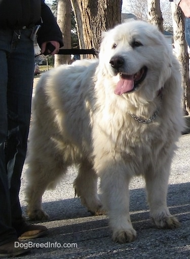 Tundra the Great Pyrenees out on a walk