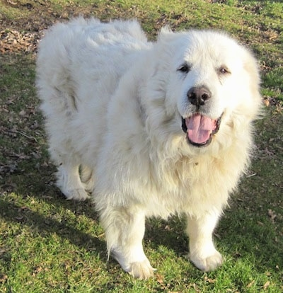 "Tundra the Great Pyrenees at 10 years old is my ""old man."" He's a"