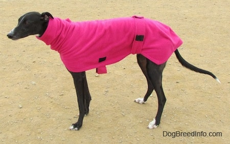 Left Profile - A black with white Greyhound is wearing a hot pink jacket.