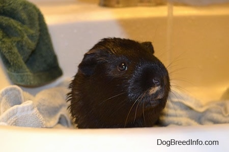Close up - A wet black guinea pig is standing on a white towel in a sink looking forward.