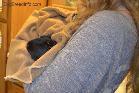 A guinea pig is wrapped in a towel and it is in the comfort of a persons arms.