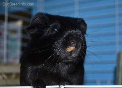 Close up front view head shot - A black guinea pig is standing on a cage door and it is looking forward.