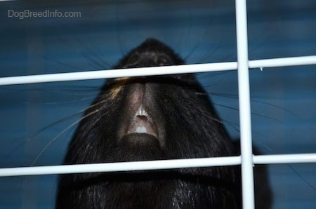 Close up - The open mouth of a guinea pig inside of a cage.