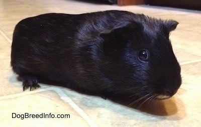 A black guinea pig is standing up and across a tiled floor looking forward.