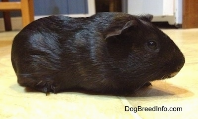 Right Profile - A black Guinea Pig is standing across a tiled floor and it is looking to the right.