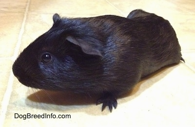 Front side view - A black Guinea Pig is standing across a tiled floor and it is looking to the left.