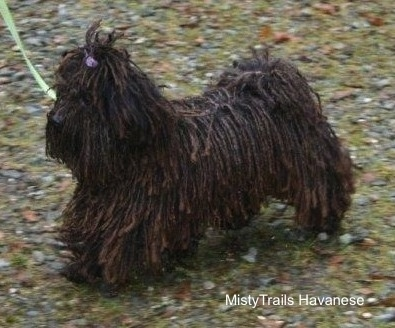 A corded Havanese is wearing a green leash running across mossy rocky ground.