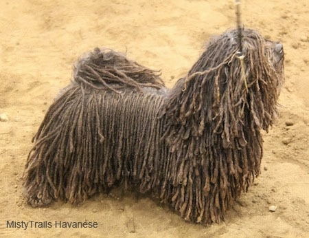 Right Profile - A Corded Havanese is standing in sand and looking up