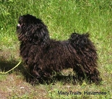 Left Profile - A corded Havanese is standing in grass and looking up. Its mouth is open and tongue is out