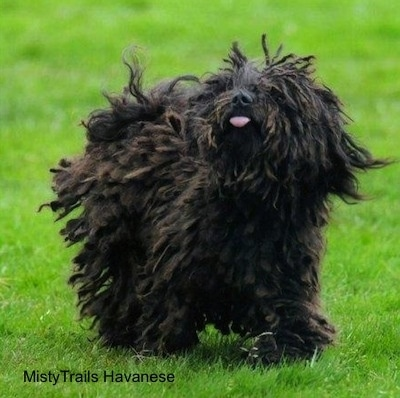 A corded Havanese is trotting through grass with its cords flying around from the movement looking up and to the left. Its tongue is sticking out a little.