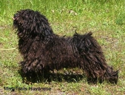 Left Profile - A corded Havanese is standing in grass.