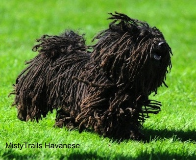 A corded Havanese is running across grass. Its mouth is open.