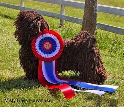 A corded Havanese is standing in grass. Behind it is a skinny tree. It has a very large red, white and blue ribbon attached to its side.