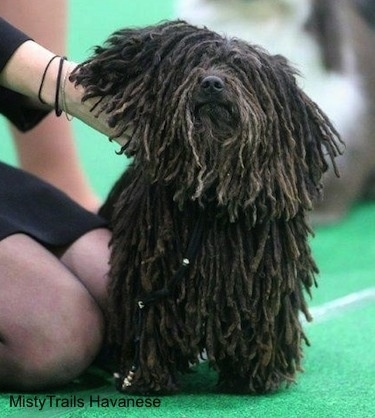 A person in a dress is holding up the neck of a corded Havanese at a dog show.