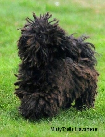 A corded Havanese is running across grass. Its hair is going up and down