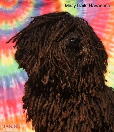 A corded Havanese is standing in front of a tye dye background. It is looking up and to the right