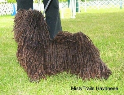 A corded Havanese is posed outside in grass at a dog show. There is a person behind them