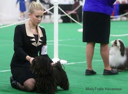 A blonde haired lady is on her knees posing a Corded Havanese in front of her at a dog show with a second dog being shown behind her.
