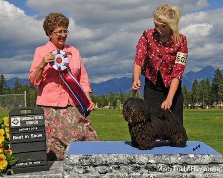 A Corded Havanese is posing on a rock by a lady in red. Next to them is a lady in pink holding a red, white and blue ribbon. They are outside with a grassy field behind them.