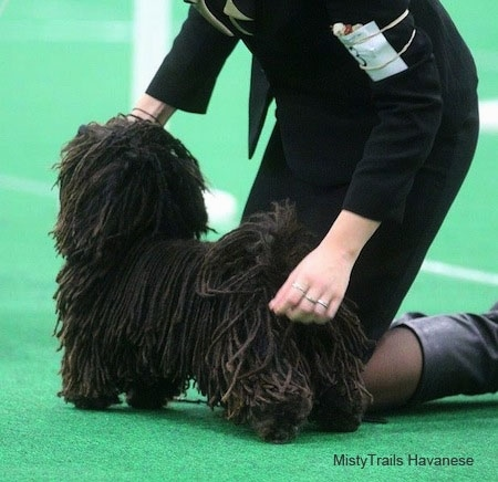 A Corded Havanese is being posed by a blonde haired lady behind it.
