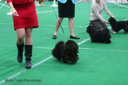 A Corded Havanese is being walked around by a lady in a red suit dress at a dog show