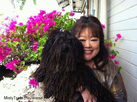 A Corded Havanese is being held up next to the face of a lady. There is a blooming hot pink azalea bush behind them.