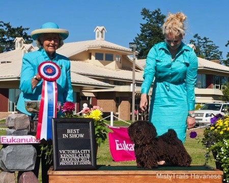 A Corded Havanese is posing on a table and there is a lady behind them with a teal-blue dress on.