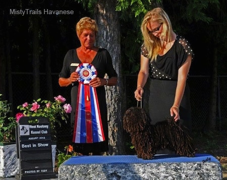 A Corded Havanese is being posed on a rock by a lady in a black dress. There is a lady next to them holding a red, white and blue ribbon