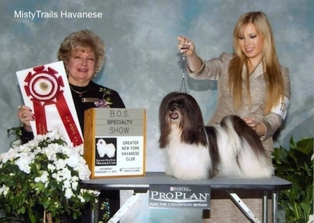 A black and white Havanese is being posed on a table by a lady with blonde hair. Next to them is a lady holding a red ribbon