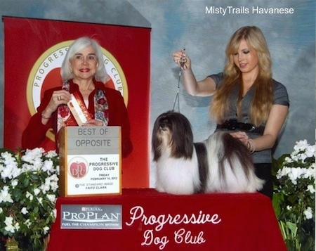 A black and white Havanese is being posed on a table by a lady with blonde hair. Next to them is a lady in red and she is holding a red ribbon
