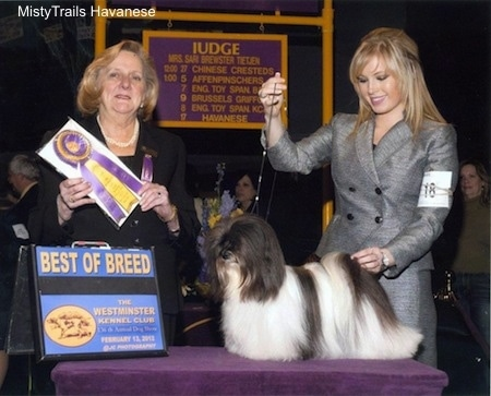 A white with black corded Havanese is being posed on a stand by a blonde haired lady at a dog show. Next to them is a Lady holding a purple and yellow ribbon