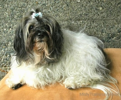 A white with black Havanese wearing a bow in its top knot is laying on a brown pillow on a table looking up.