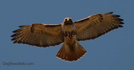 Red-tailed Hawk in flight showing off its nice wing span