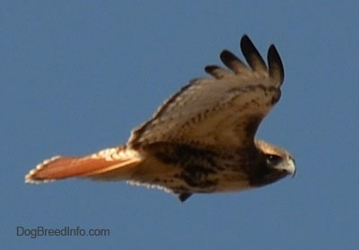 Right Profile - Red-tailed Hawk in flight