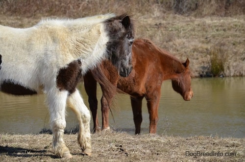 A brown horse is getting ready to drink out of a pond and walking behind it is a white and brown paint pony.