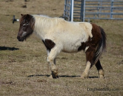 Side view - A white and brown pony is walking across a field looking to the left.