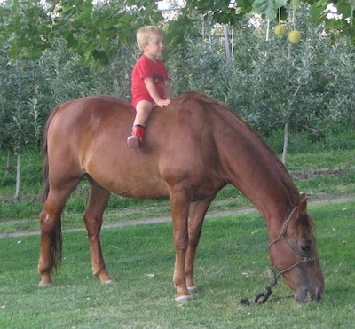 A blonde haired boy in a red shirt is sitting bareback on the back of a horse. The Horse is eating grass in the field.