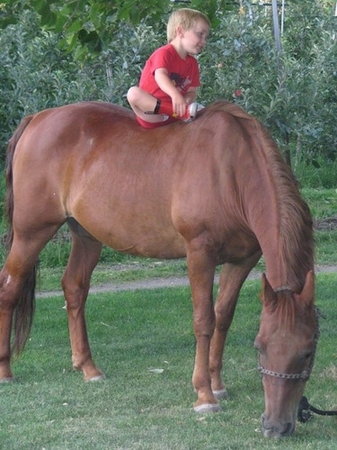 A blonde haired boy in a red shirt is sitting bareback on the back of a horse. The horse is eating grass in a field and the boy is looking to the right.